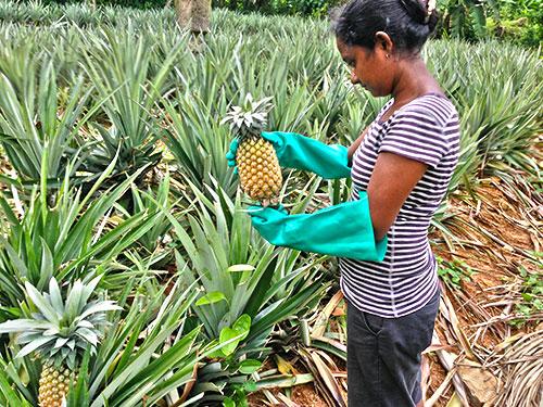 Ananas Ernten