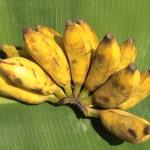 Banane Sini