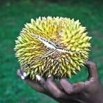 Urfrüchte - Durian (wild)