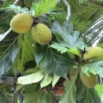 Urfrüchte - Brotfrucht