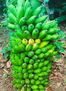 Ambul Banane